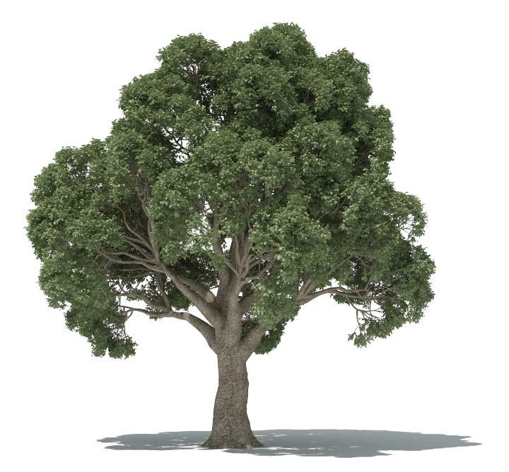 forester-oak-tree.jpg