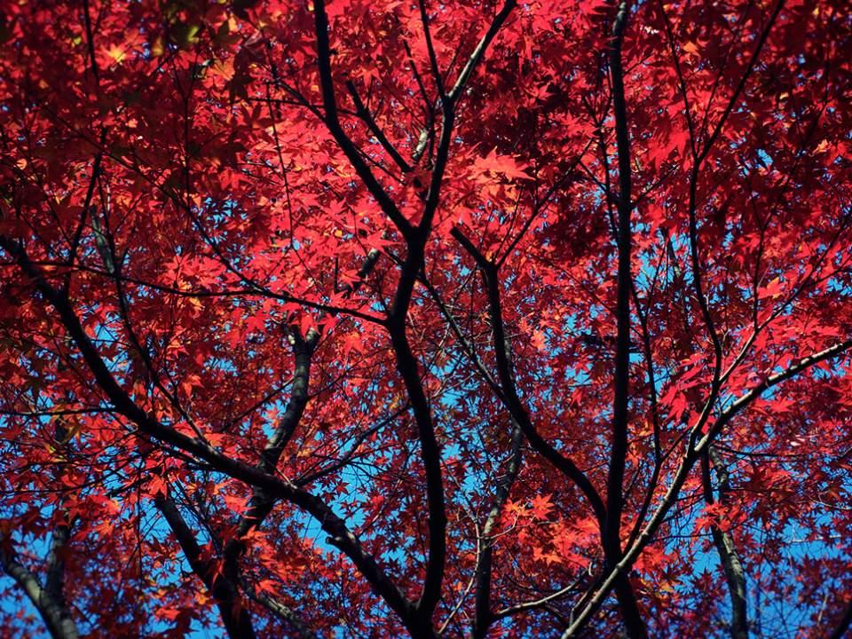 붉은 단풍