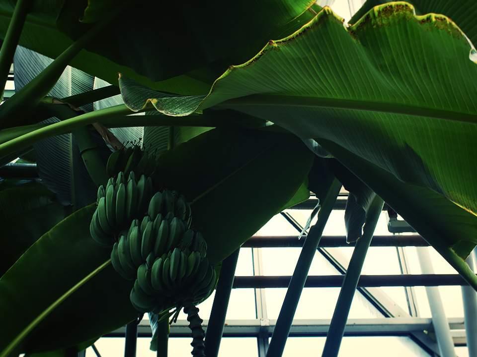한국에서의 바나나 나무