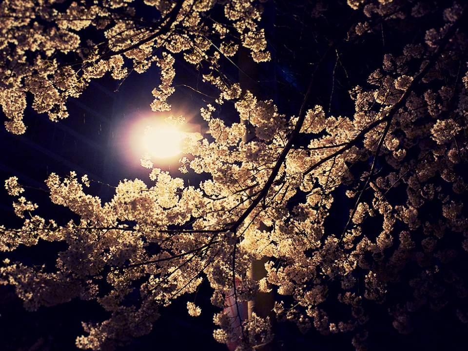 야밤의 벗꽃