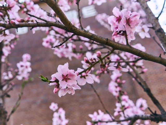 분홍의 벗꽃들