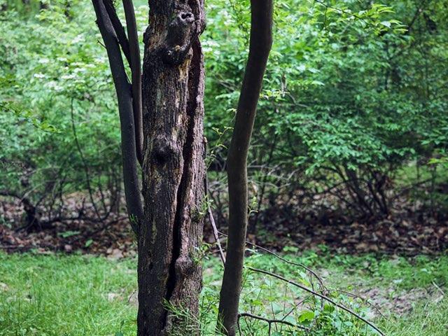 갈라지는 나무